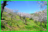 Almond flowers, just outside Guaro